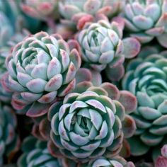 Echeveria Elegans - Leaf & Clay