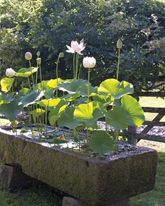 lotus in a stone trough