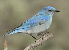 Facebook fan Brenda also looks for bluebirds. (http://www.allaboutbirds.org/guide/Mountain_Bluebird/id) Credit: Gerrit Vyn