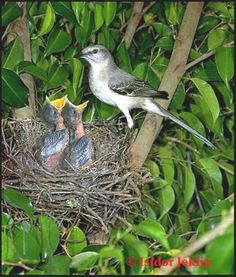 """Ask any Texan, and you will no doubt learn that the mockingbird has the prettiest song of any bird native to North America. That's perhaps the chief reason the """"mocker"""" was adopted as the state bird of Texas in 1927. ##GaneschaBotTest"""