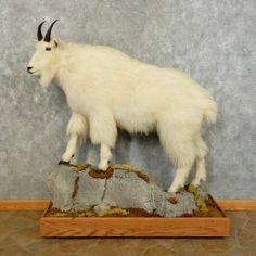 This gorgeous mountain goat taxidermy mount is for sale @thetaxidermystore.com