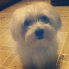 Milo!  #Milo  #dog  #puppy  #Maltese  #amazing  #sweet  #fun  #funny  #cute