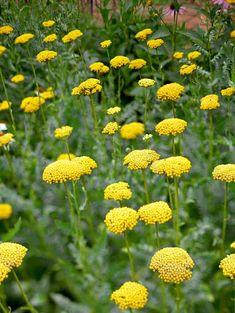 achillea-fern-leaf-yellow-yarrow-08d66d4e Tall Perennial Flowers, Perennial Geranium, Perennial Bulbs, Flowers Perennials, Perennial Grasses, Perennial Gardens, Best Perennials, Hardy Perennials, Herbaceous Perennials