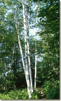 Paper Birch: Betula papyrifera. *Zone- 2. *50- 70 tall. *Oval to rounded shape. *Texture is medium. *Does poorly in high summer heat; Likes cooler climates. *Full sun.