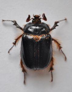 Pleocoma dubitabilis?  - Pleocoma dubitabilis - samec