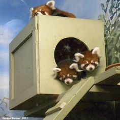IMG 2011-Sep16 at Assiniboine Park Zoo: Red panda (Ailurus fulgens) adult female and two juveniles チャーファと双子