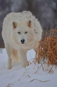 Arctic Wolf, Eyes on Prey. (by Arvo P). Arktischer Wolf, Wolf Love, Wolf Pup, Wolf Eyes, Beautiful Creatures, Animals Beautiful, Cute Animals, Wolf Spirit, Spirit Animal