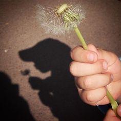 Blume pusten | #Pusteblume #blowball #shadow #schatten #instagood #instamood #blumen #flowers #frühling #latergram #nature #spring Dandelion, Instagram Posts, Flowers, Plants, Pictures, Shadows, Dandelions, Planters, Flower