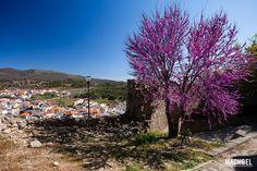 Árbol morado en plena flor en el mirador del castillo de Montánchez, Montánchez, Extremadura