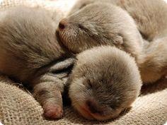 Newborn otters sleeping.