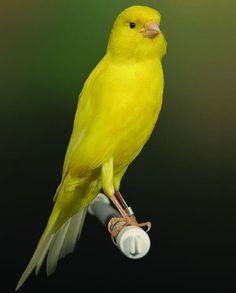 De kanarie wordt al eeuwen als huisdier gehouden. Het zijn meestal de mannetjes die zingen, vrouwtjes zingen slechts bij hoge uitzondering.