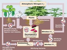 Schematic representation of the nitrogen cycle. Abiotic nitrogen fixation has been omitted.