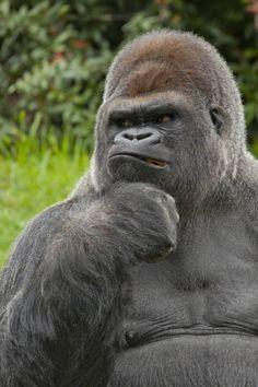 DeviantArt: More Like - Silverback Gorilla by Jay-Co Animals And Pets, Funny Animals, Cute Animals, Funny Monkey Pictures, Silverback Gorilla, Mountain Gorilla, Wild Creatures, Baboon, Mundo Animal