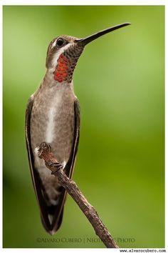 Plain Capped Star throat (Heliomaster constantii) Guanacaste, Costa Rica