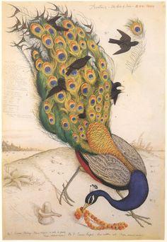 """""""Avatars - The Birds of India, No. 1"""", 1996, Walton Ford."""