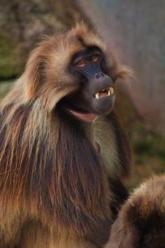 Gelada – Theropithecus gelada
