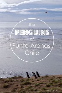 The Penguins of Punta Arenas, Chile // Brittany from Boston