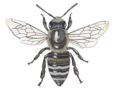 Honingbij werkster