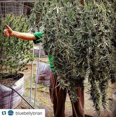 "#Repost @bluebellybrian:  ""Lifted Family lends a hand as some of the #sourchelumbian enjoy their last moments in the sun."" #BlueBellyFarms #LiftedEdibles #ElevatedExtracts #dowhatyoulove #allforthepatients #norstargenetics #santacruzmountains #santacruzgrown #organicgardening #growyourmeds #growbigorgrowhome #terpalicious #420 #wfayo #831dabbers #highsociety #thc #strains #sungrown #sativa #cannabis #california #harvest #santacruz"