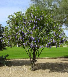 Texas Mountain Laurel. Slow-growing and not very large - 15-25' high. Spring flowers smell like grape bubblegum (not my favorite scent, but it sure is pretty!)