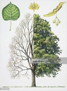 Image result for botanical illustration tilia