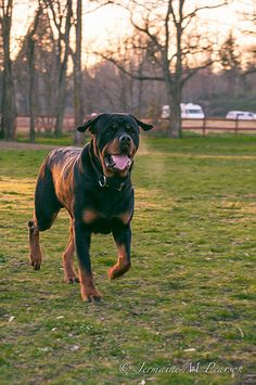 Love Rottweilers!