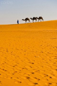 Camel caravan in Erg Chebbi Desert, Sahara Desert near Merzouga, Morocco, North Africa, Africa