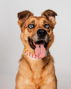 Meet Lady, an adoptable Catahoula Leopard Dog looking for a forever home. If you're looking for a new pet to adopt or want information on how to get involved with adoptable pets, Petfinder.com is a great resource.