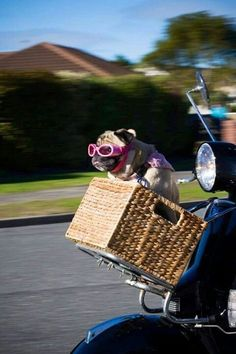 Pug sitting a handle bar basket