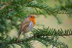 Chirping Robin.... | Flickr - Photo Sharing!
