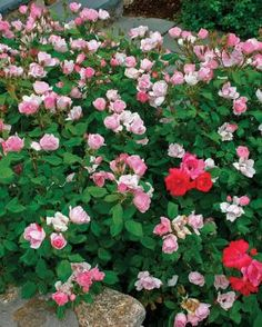 The Only Shrubs You Need to Grow | Fine Gardening   Knockout Roses:  No pruning, full sun to light shade Knock Out® series roses (Rosa  Knock Out®)