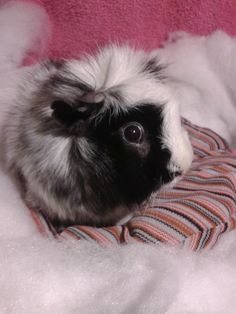 Guinea Pig Bed by SnackieChanOriginals on Etsy