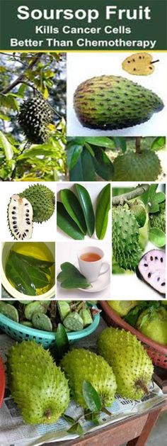 How To Use The Leaves Of Soursop To Kill Cancer Cells (1000 Times Stronger Than Chemotherapy) http://www.feelinglively.com/how-to-use-the-leaves-of-soursop-to-kill-cancer-cells-1000-times-stronger-than-chemotherapy/