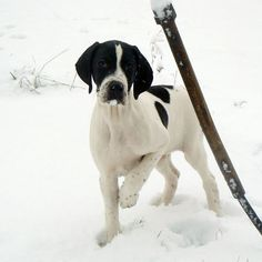 English Pointer Pup ~ Classic Look - Snowtime.