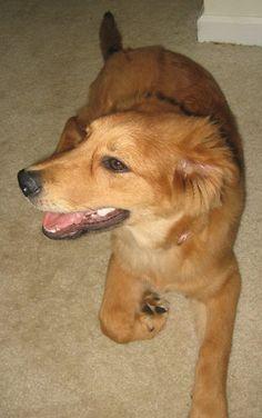 Rosie the Golden Retriever x Collie