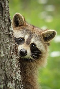 Raccoon by bkcrossman - close up art photo contest Nature Animals, Woodland Animals, Animals And Pets, Baby Animals, Cute Animals, Strange Animals, Funny Animals, Animal Close Up, My Animal