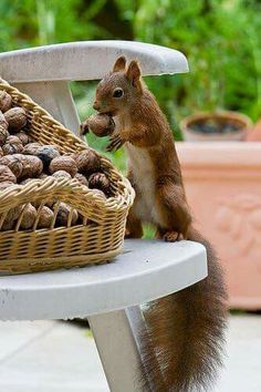 red squirrel exploits stupid human nut-storage plan ;P