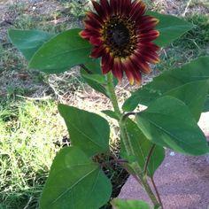 Julianna's first sunflower