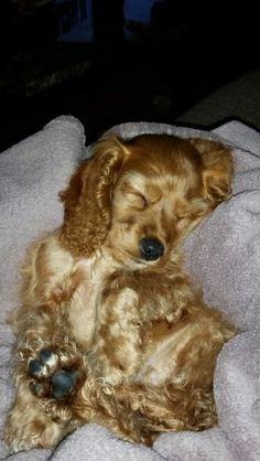 My cutie Wyatt. Puppy cocker spaniel.