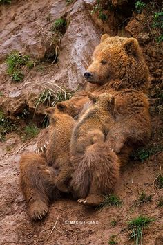~~Delicious Time ~ brown bear cubs feeding by Marina Cano~~