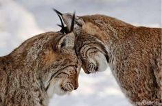 White Wolf: 15 Állati Párok, amelyek bizonyítják True Love létezik az Animal Kingdom