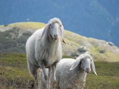The ears win it..... Austrian beauties. Schafe auf der Nockspitze by Thomas Hackl on Flickr