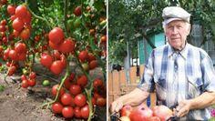 Nápady a Tipy Tomato Garden, Pumpkin, Fruit, Gardening, Vegetables, Nature, Flowers, Plants, Outdoor