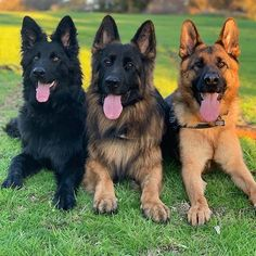 German shepherds are one of the most constant dog breeds to make the American Kennel Club's yearly list of the most popular pet dogs. German Shepherd Pictures, German Shepherd Puppies, German Shepherds, German Dogs, Pet Dogs, Dogs And Puppies, Dog Cat, Doggies, Funny Dogs