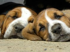 Basset cuddle puppies.  When they are full grown they still think they are cuddle puppies just way heavier
