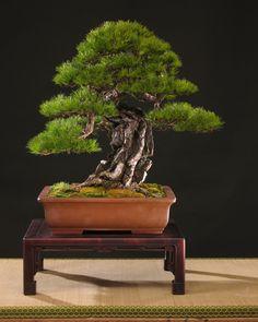 Pinus densiflora bonsai