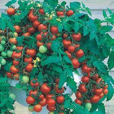 Minhas Descobertas com as Plantas: Como Fazer Mudas de Tomate Cereja