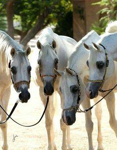 Arabian Horses - Horses
