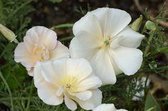 Eschscholzia californica 'Peach Sorbet' 01