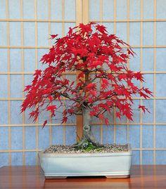 Japanese Mountain Maple Bonsai Tree (Acer palmatum) Red Autumn Colours | Flickr - Photo Sharing!